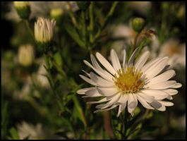 Heath aster by Pildik