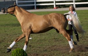 Palomino, gallop - Stock by hh-harley