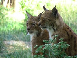 Sleepy Lynxes by helice93