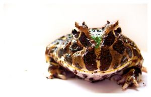 argentine horned frog by an6el-of-death