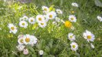 Summer daisies by DaniellesPhotography