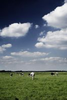 Cows Stock 02 by JaneDoeStock