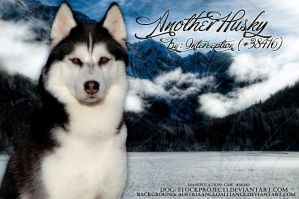 Husky1 by Foreverrodeo
