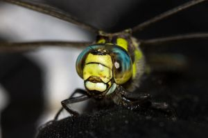 Green Blue Dragonfly by AneiKhaar
