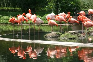 the beauty of flamingos 5 by ingeline-art