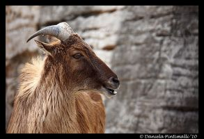Tahr Mountain Goat by TVD-Photography