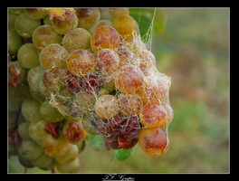 Grapes by mcginess