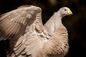 Cape Barren Goose 2 by DanielleMiner