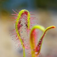 .: Long-leaved Sundew :. by Frank-Beer