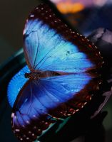 Blue Morpho Butterfly by ParadoxGirl411