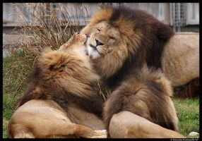 Lion Love by TVD-Photography