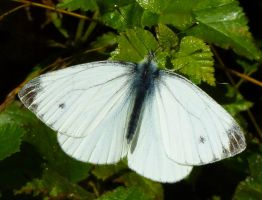 Cabbage White by mant01