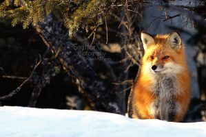Winter fox by Sagittor