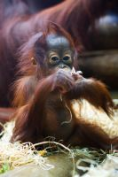 6549 - Orangutan by Jay-Co