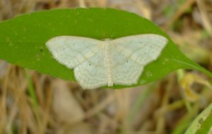 Pale moth by EruwaedhielElleth
