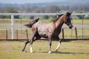 GE Arab rosegrey moving to trot by Chunga-Stock