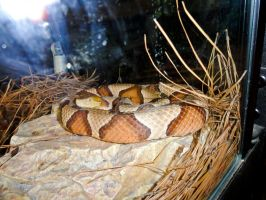 Copperhead Stock by stormymay888