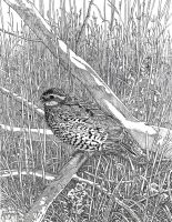 Quail: Finished Pencil by giadrosich