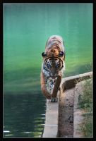 Tiger Stalking by hoboinaschoolbus