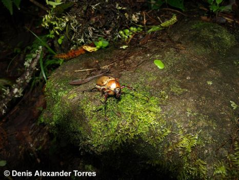 A Beetle in the Andean Forest by torreoso