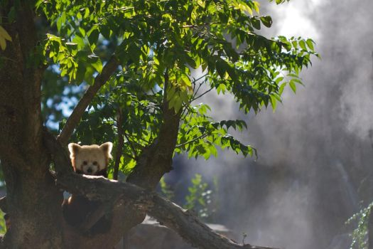 Red Panda in the Mist by M37