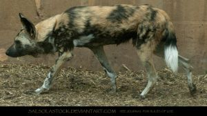 Painted Dog 3 by SalsolaStock
