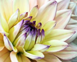 Dahlia Exposure by andras120