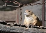 Portly Groundhog by AlainaLee