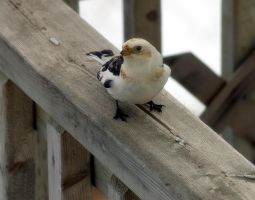 snow bunting 3 by LucieG-Stock