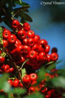 Red Berries 3 by poetcrystaldawn