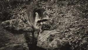 The Coon by daenuprobst