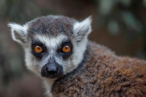 Ringed tail Lemur by Adrienmcguire