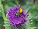 Honey Bee In Thistle by KarmicCircle