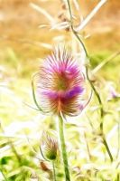 Thistle by Bazz-photography