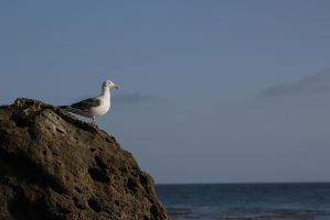 Contemplative gull by 63Biscuit