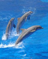 Dolphins 001 by neverFading-stock