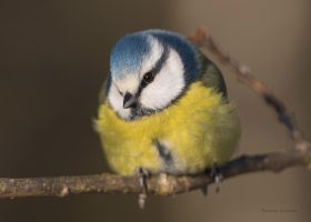 A curious blue tit by roisabborrar