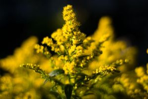 yellow by tommboy