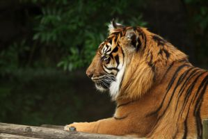 Sumatran tiger profile by James-Marsh