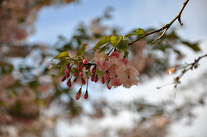 Cherry Blossoms by Cesia