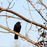 Common blackbird by Jorapache