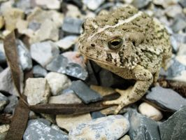 Toad by Oddstuffs