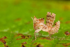 Small Grasshopper by melvynyeo
