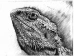 Bearded Dragon Drypoint by SoulSerenade