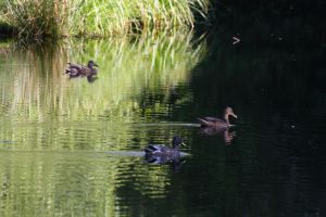 Ducks in the water by ProjektGoteborg