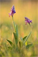 Orchis militaris by Aphantopus