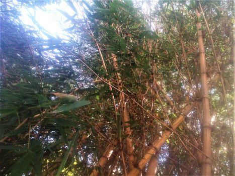 Cane Forest under the sunlight. by Argenx