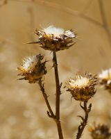 Parched thistle by PaulWeber
