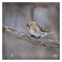 Common Redpoll. 2009 by AmirNasher