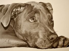 Commission - English Blue Staffordshire Terrier by Captured-In-Pencil